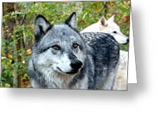gray Wolf Pair Greeting Card