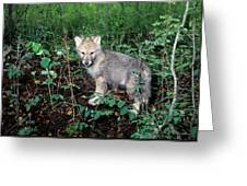 gray Wolf Pup in Woods Greeting Card
