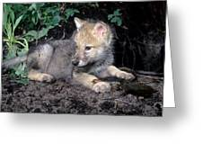 Gray Wolf Pup With Prey Greeting Card
