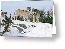 Gray Wolves Canis Lupus In A Forest Greeting Card