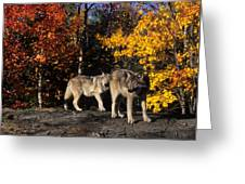 Gray Wolves In Autumn Greeting Card