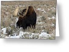Grazing Bull Moose Greeting Card