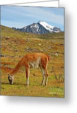 Grazing Guanaco In Patagonia Greeting Card