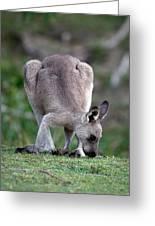 Grazing Kangaroo Greeting Card