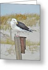 Great Black Backed Gull - Larus Marinus Greeting Card