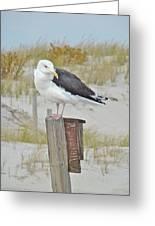 Great Black Backed Gull - Larus Marinus Greeting Card