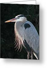 Great Blue At Rest Greeting Card