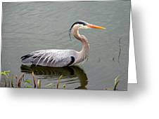 Great Blue Heron 4 Greeting Card