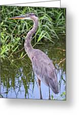 Great Blue Heron Closeup Greeting Card