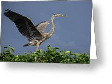 Great Blue Heron Delray Beach Florida Greeting Card