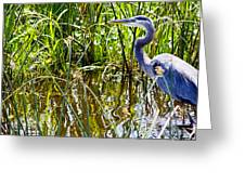 Great Blue Heron In The Wetlands Greeting Card