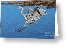 Great Blue Heron Landing In The Marsh Greeting Card