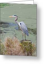 Great Blue Heron Near Pond Greeting Card