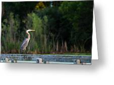 Great Blue Heron On A Handrail Greeting Card