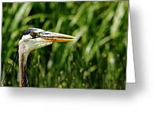Great Blue Heron Portrait Greeting Card
