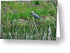 Great Blue Heron Series 5 Of 10 Greeting Card