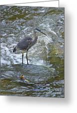 Great Blue Heron Standing In Stream Greeting Card
