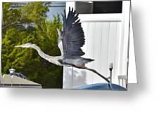 Great Blue Heron Taking Flight Greeting Card
