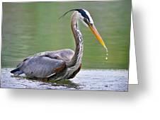 Great Blue Heron Wading Greeting Card