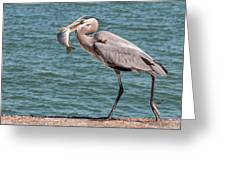 Great Blue Heron Walking With Fish #2 Greeting Card