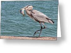 Great Blue Heron Walking With Fish #3 Greeting Card