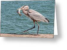Great Blue Heron Walking With Fish #4 Greeting Card
