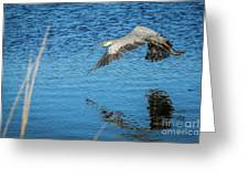 Great Blue In Flight #3 Greeting Card
