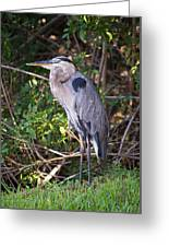 Great Blue Just Chillin' Greeting Card