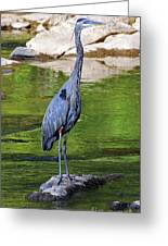 Great Blue Wading The Tuck Greeting Card