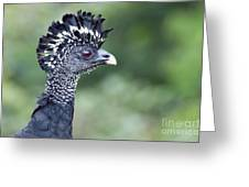 Great Curassow Greeting Card