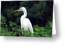 Great Egret 19 Greeting Card
