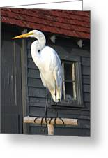 Great Egret 27 Greeting Card
