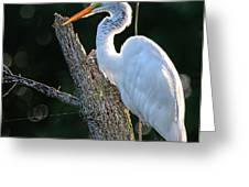 Great Egret At Rest Greeting Card