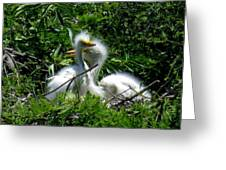 Great Egret Chicks 1 Greeting Card