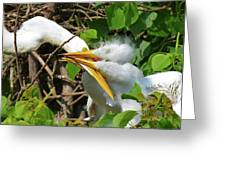 Great Egret Chicks And Mom Greeting Card