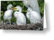 Great Egret Chicks Greeting Card