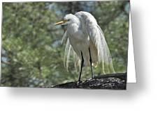Great Egret II Greeting Card