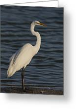 Great Egret In The Last Light Of The Day Greeting Card