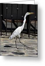 Great Egret In The Neighborhood Strutting 1 Greeting Card