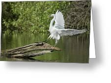 Great Egret Landing Greeting Card