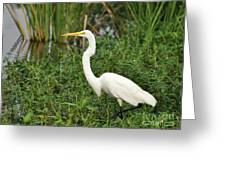 Great Egret Walking Greeting Card