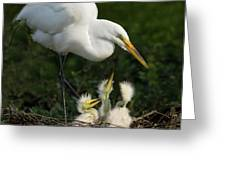 Great Egret With Chicks Greeting Card