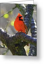 Great  Perch Male Northern Cardinal Greeting Card