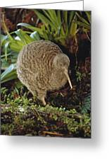Great Spotted Kiwi Apteryx Haastii Male Greeting Card by Tui De Roy