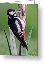 Great Spotted Woodpecker 1  Greeting Card