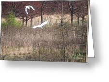Great White Egret - 3 Greeting Card