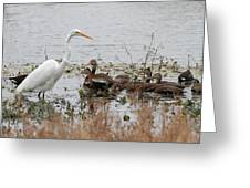 Great White Egret And Ducks Greeting Card