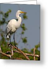 Great White Egret Pose Greeting Card