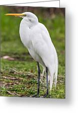Great White Egret Vertical Greeting Card