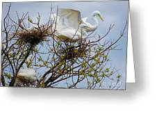 Great Egrets, Nest Building Greeting Card